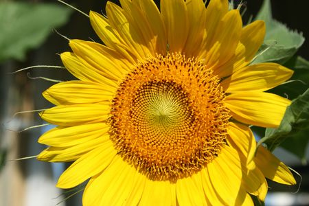 Sunflower Stock Photo - 2291277