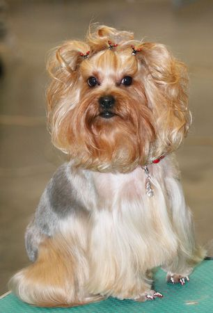 grey haired:  Portrait of a yorkshire terrier Stock Photo