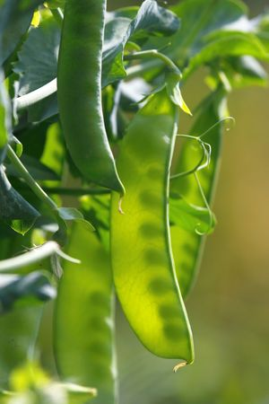 sustain: Peas pods Stock Photo