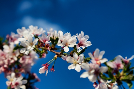 Cherry Blossom Branch Against Deep Blue Sky photo