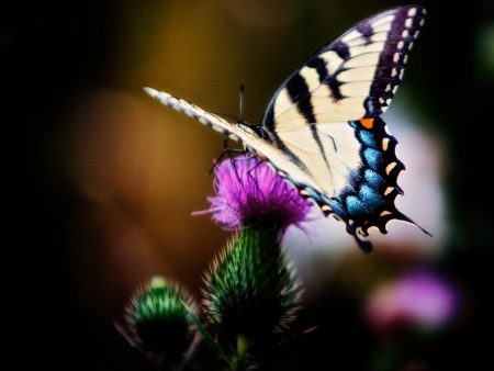 thistle plant: Swallowtail  Stock Photo