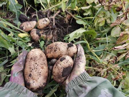 Potato harvest. Hands in gloves clean potatoes from the ground