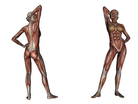 musculature: illustration: musculature of one woman Stock Photo