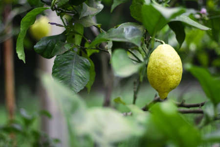 citrus tree: Lemon tree