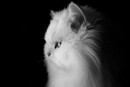 living idyll: Fluffy cat looking out the window