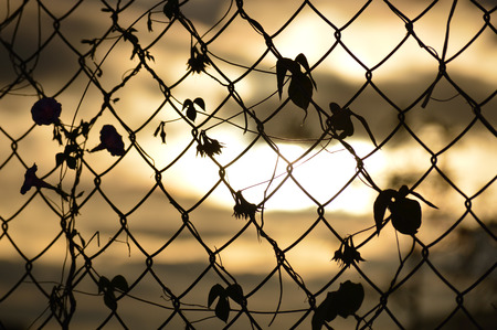 fencing wire: The weave of branches with leaves on wire fencing.