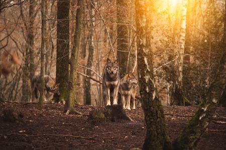 숲에있는 한 무리의 늑대.