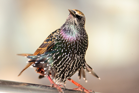 windy day: A starling enjoying a windy day in Bray. Stock Photo