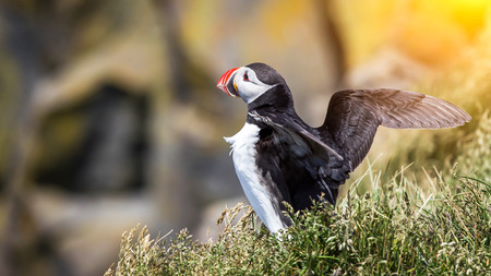 spread wings: Atlantic Puffin with spread wings.