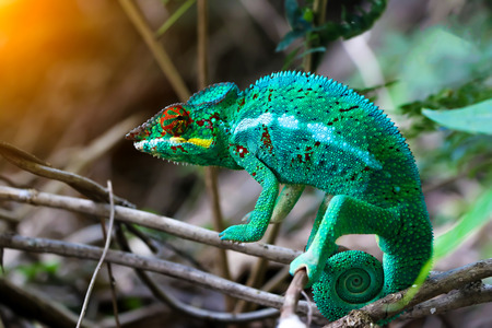 changing form: Chameleon with a twisted tail on a branch. Stock Photo