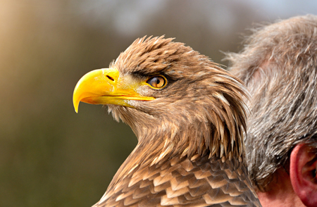aguila real: Retrato del águila de oro