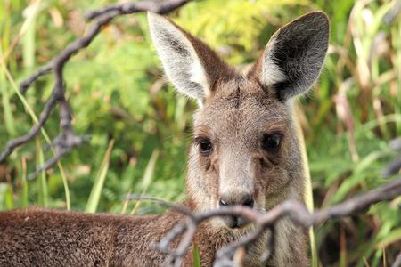 animal pouch: Portrait kangaroo
