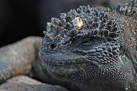 reptiles: Portrait of the old black reptiles closeup