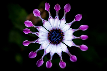 african daisy: Soprano Lilac Spoon (Osteospermum) flower, African Daisy, against natural background
