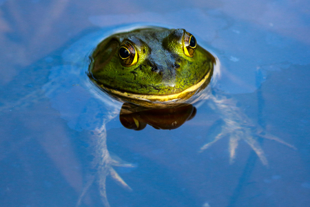 hydrobiology: Edible frog in water