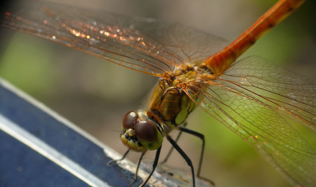 sympetrum: Sympetrum sanguineum - dragonfly in chat rooms on the branch