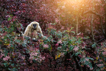 bipedal: White Gibbon or Lar Gibbon on the tree
