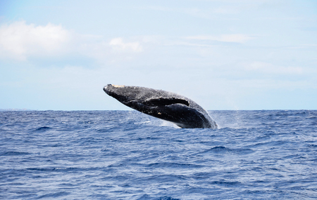 breaching: Humpback whale is showing head above water