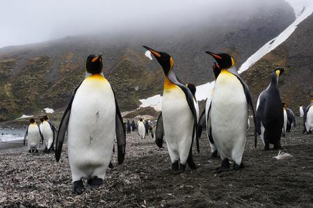 king penguins: King penguins walking in sunlight