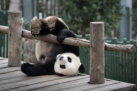 Little Panda is played near the wooden fence
