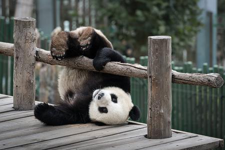 Pequeño panda se juega cerca de la cerca de madera Foto de archivo