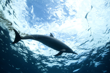 indopacific: Dolphin poops in the water. Bottom view Stock Photo