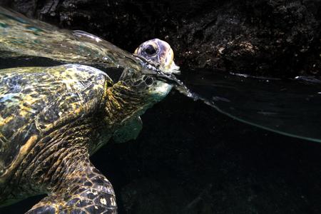 elkhorn coral: Hawksbill sea turtle swimming in aquarium