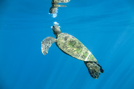 chelonia: Green Sea Turtle (Chelonia mydas)
