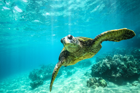 Giant tortoise close-up swims underwater ocean background of corals Stockfoto