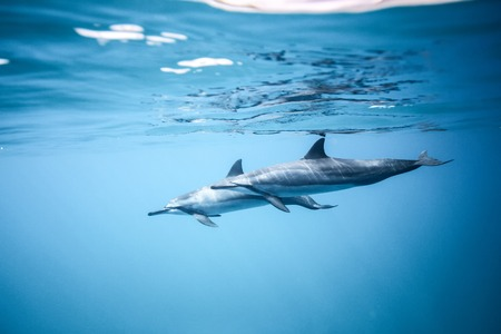 spinner: Two dolphins swim near the ocean surface. Photo underwater Stock Photo