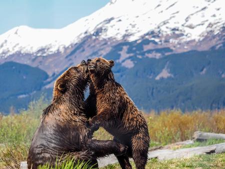 salmon falls: Brown Bear, Katmai National Park, Alaska