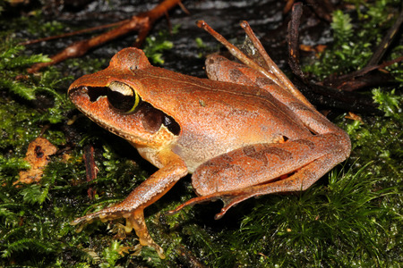 arboreal frog: Aglyptodactylus madagascariensis is a species of frog in the family Mantellidae known commonly as the Madagascar jumping frog.