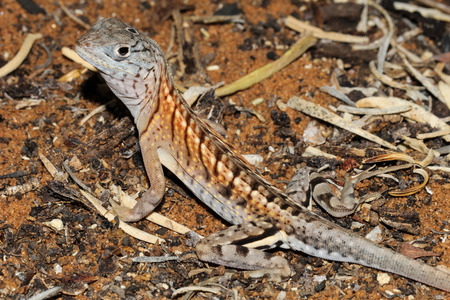 anja: Chalarodon madagascariensis is a species of Malagasy terrestrial iguanian lizard native to western, southern, and south eastern Madagascar. Stock Photo