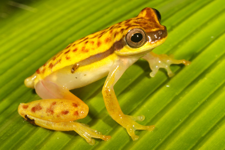 anuran: Dendropsophus rhodopeplus is a species of frog in the Hylidae family. It is found in the upper Amazon Basin in Bolivia, Brazil, Colombia, Ecuador, and Peru.