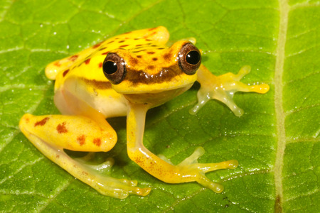 anuran: Dendropsophus rhodopeplus is a species of frog in the Hylidae family. Stock Photo