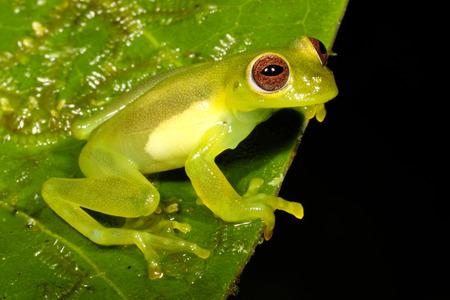 sclera: Green frog Stock Photo