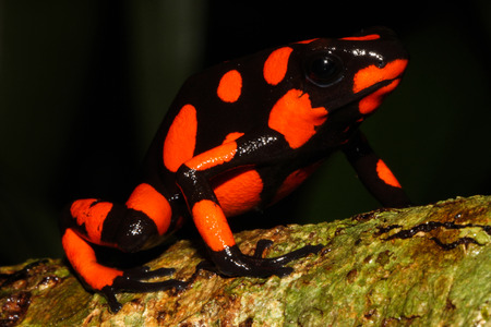 inconspicuous: Harlequin poison frog