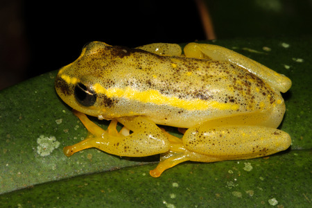 Heterixalus betsileo is a species of frogs in the Hyperoliidae family endemic to Madagascar. Stock Photo
