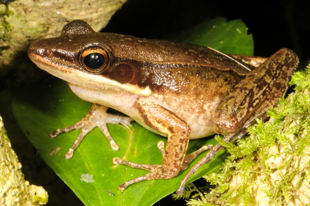 amphibia: Hylarana nicobariensis is an amphibian of the genus Hylarana, which can be found in lowland secondary forests or disturbed areas such as swamps.