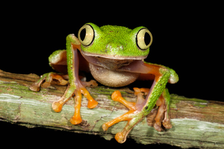 agalychnis: Hylomantis hulli is a species of frog in the Hylidae family. It is found in Ecuador and Peru.