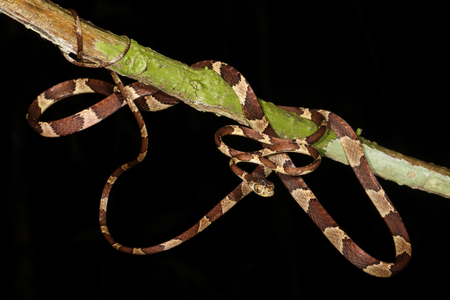herpetology: Imantodes cenchoa is a species of rear-fanged colubrid snake distributed in Mexico, Central America, and South America.