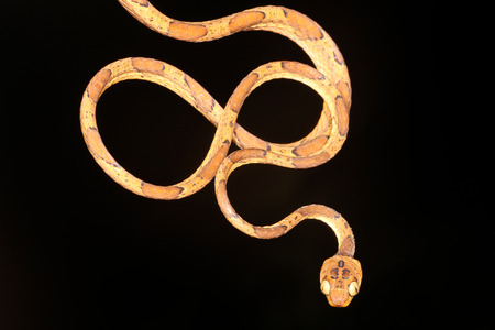 colubridae: Imantodes is a genus of colubrid snakes commonly referred to as blunt-headed vine snakes or blunt-headed tree snakes. Stock Photo