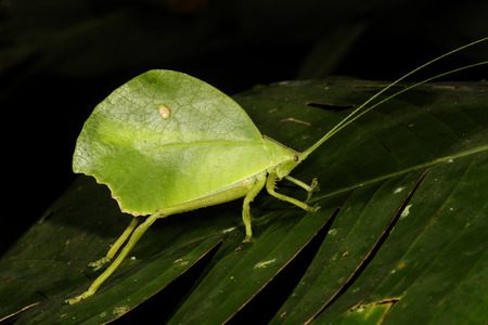 mimetism: Insects in the cricket family Tettigoniidae are commonly called katydids or bush crickets. More than 6,400 species are known. Stock Photo