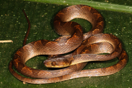 referred: Leptodeira is a genus of colubrid snakes commonly referred to as cat-eyed snakes.