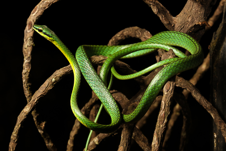 colubridae: Leptophis ahaetulla, commonly known as the lora or parrot snake, is a species of medium-sized slender snake of the Colubridae family.