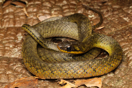 herpetology: Liophis is a genus of New World colubrid snakes. They have a wide range of nondescript and local names, among these water snakes, mapepires, corals or racers.