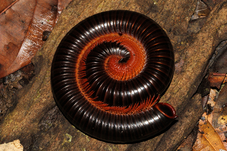 arthropods: Millipedes are arthropods in the class Diplopoda, which is characterised by having two pairs of jointed legs on most body segments.