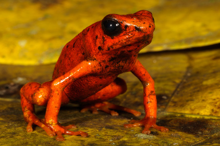 strawberry frog: Oophaga sylvatica, sometimes known with its Spanish name diablito, is a species of frog in the Dendrobatidae family found in southwestern Colombia and northwestern Ecuador.
