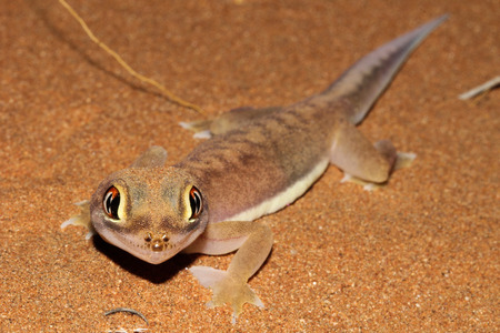 Pachydactylus rangei, the Namib sand gecko or web-footed gecko, is a species of small lizard in the family Gekkonidae. Stock Photo