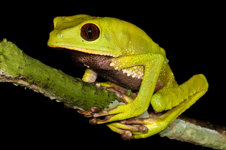 croaking: Phyllomedusa tarsius, the tarsier leaf frog, is a species of frog in the Hylidae family. It is found in Brazil, Colombia, Ecuador, Peru, and Venezuela, and possibly Bolivia and Guyana.